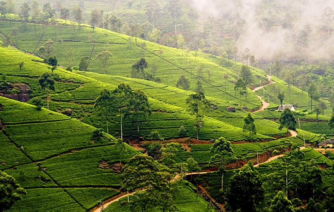 Plantations de thé - Bandarawela