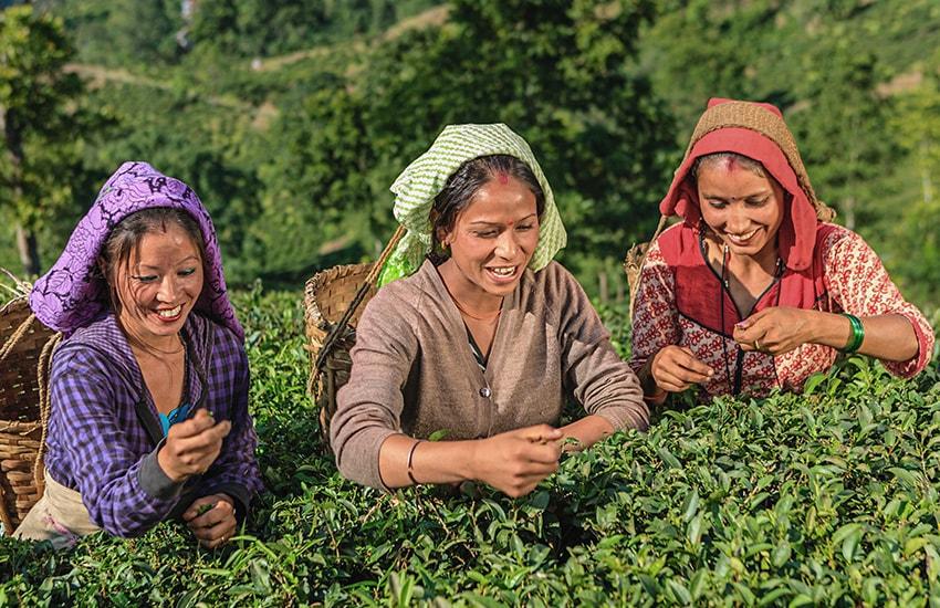 Un thé à Darjeeling