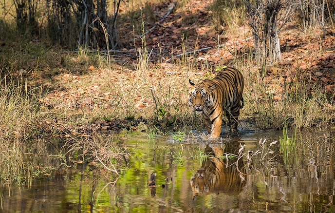 Parc National de Bandhavgarh