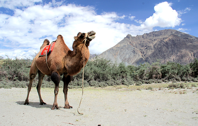 Safari en chameaux sur les dunes de la Nubra