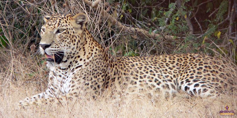 Leopard Spotting in Yala