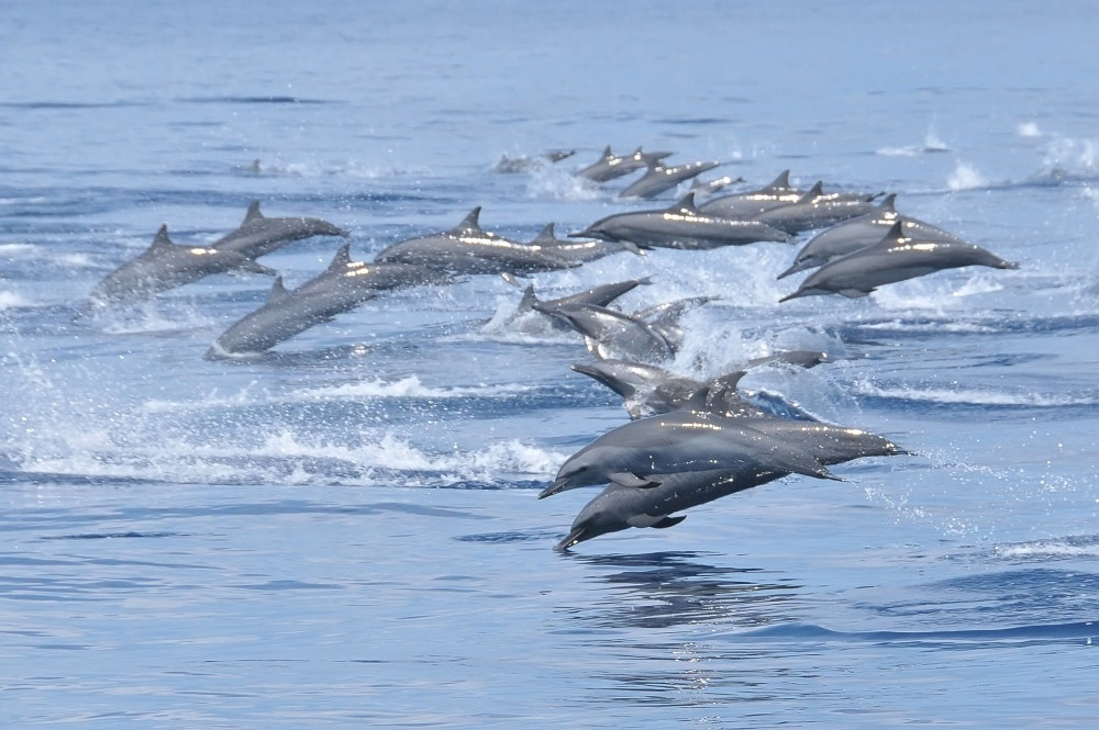 Sri Lanka Dolphins jumping