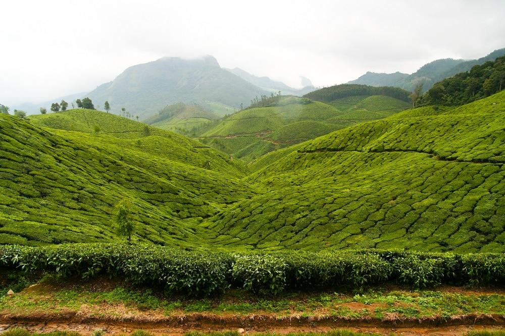Kerala_Munnar_Plantation_The