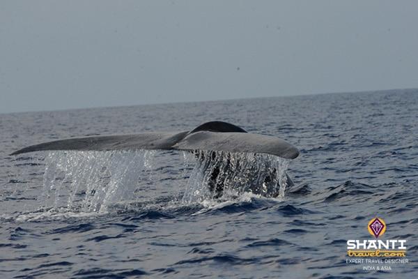 Sri_Lanka_whale_watching  Baleines