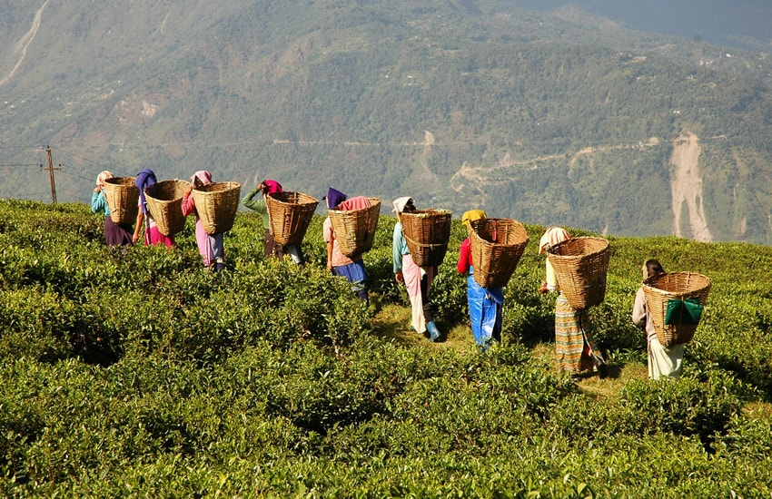 Tea Producers in Darjeeling